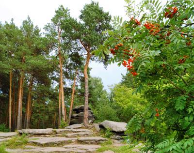 Красные гроздья рябины Екатеринбург парк Каменные палатки