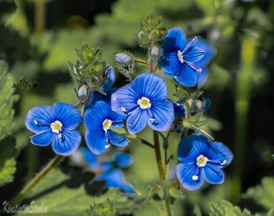***Цветочки синенькие...*** Цветы лесные лето июнь