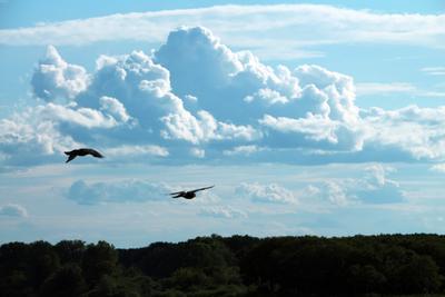 *** птицы голубь небо
