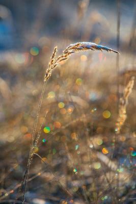 Мятлик луговой трава зима мятлик луговой боке контровой свет