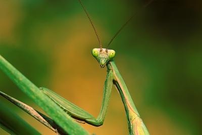 кто здесь ? макро фото богомол прямокрылые лето насекомые