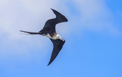 Magnificent frigatebird - Juvenile (stage 1)