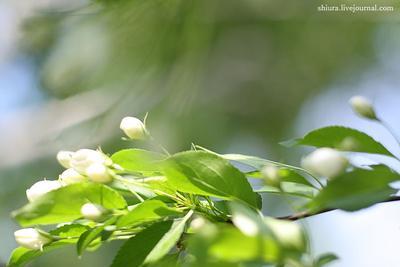 Яблоневый ветер яблоня, цветы, бутоны, листья, ветер, весна, зелень, солнечно