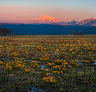 Цветение альпийских лугов на Кавказе Кавказ Теберда Эльбрус Кавказский хребет весна путешествие горы горное туризм цветение альпийские луга калужница многолепестковая закат сумерки цветущее жёлтый на фоне гор цветы цветок весеннее гора