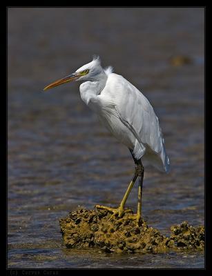Белая рифовая цапля Рифовая цапля Egretta gularis