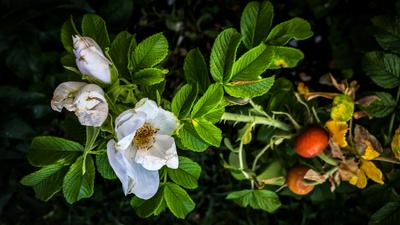 *** цветы шиповник