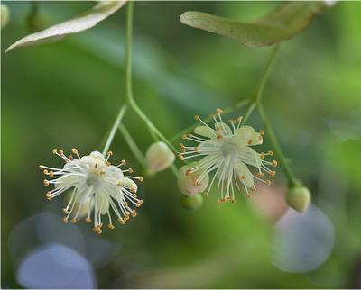 Липовый цвет лето липа tilia