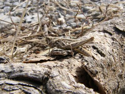 Прямокрылое (из серии Камуфляж) камуфляж прямокрылое насекомое кузнечик саранча кобылка