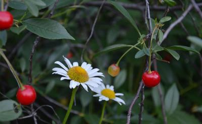 Ромашковая вишня... ромашки, вишня, сад