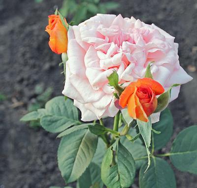 Королева и фрейлины роза