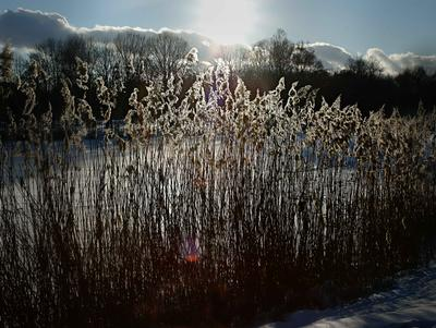 Зима на озере. зима озеро камыши