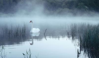 Сквозь мглу Природа пейзаж лебеди туман