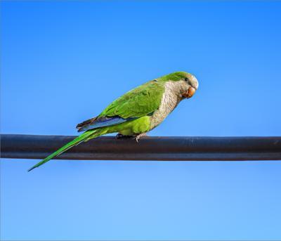 Попугай-монах птица