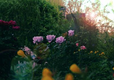 розы цветы розы