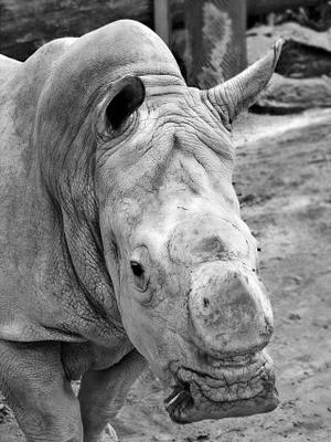 Дядюшка Орно носорог