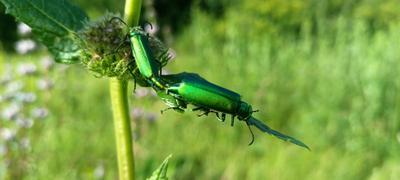 Зелёные жуки Зелёные жуки жучки два жука на цветке листе блестящие