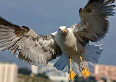 ***Привет Фотограф ! охота чайки крупный план пернатые любопытство