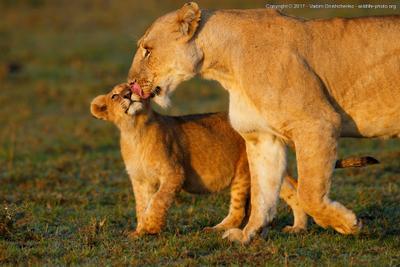 Я люблю свою маму африка кения дикие животные мастеркласс фотосафари фотографировать