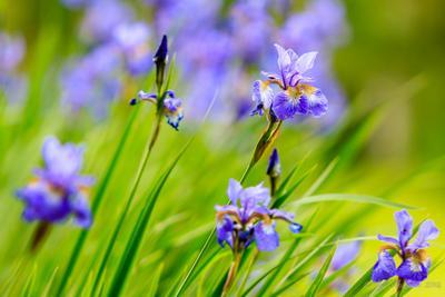 Ирисы на ветру 2014 flowers greens iris summer undulates wind ветер зелень ирис колышется лето цветок цветы