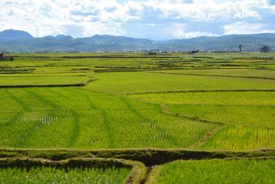 Мадагаскар, рисовые поля Мадагаскар