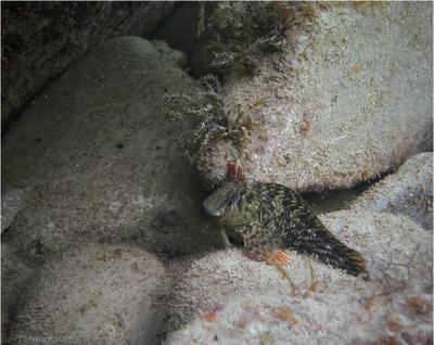 Невзрачное существо на невзрачном фоне рыбы Черного моря морская собачка