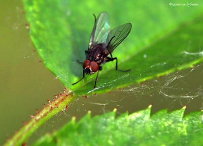 Домашняя муха на листе