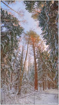 Тянемся к небу лес зима сосна деревья небо