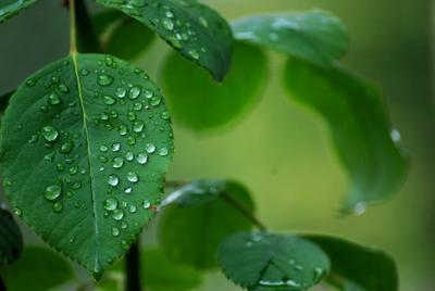 Капли после летнего дождя Капли дождя листья розы макро