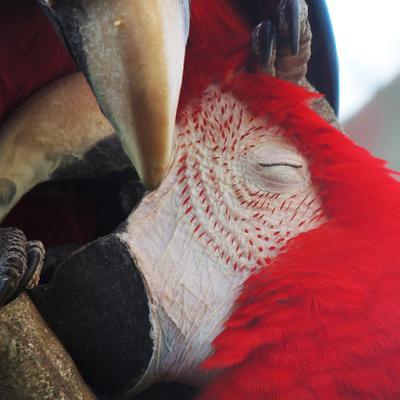 Нежность Ara macao, красный ара, ара красно-синий, араканга, ара макао