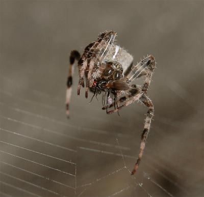 Хантер паук