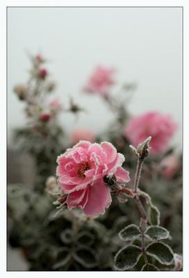 ice rose роза