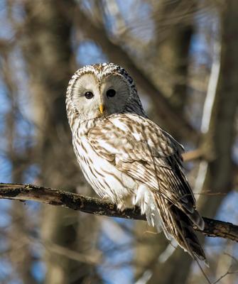 Длиннохвостая неясыть птицы природа зима весна лес сова