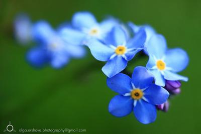 Незабудки голубые цветы