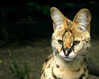 Сервал сервал кошка животное зоопарк фотография милое интересно красиво оранжевый пушистый котик