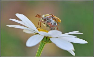 На ромашке. Майский жук