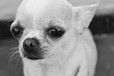 морда чихуа хуа мини собака морда