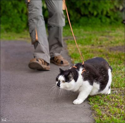 Выгул котов разрешен кот улица прогулка