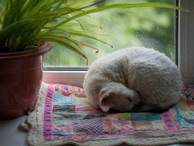 Клубок кошки окно корниш-рэкс