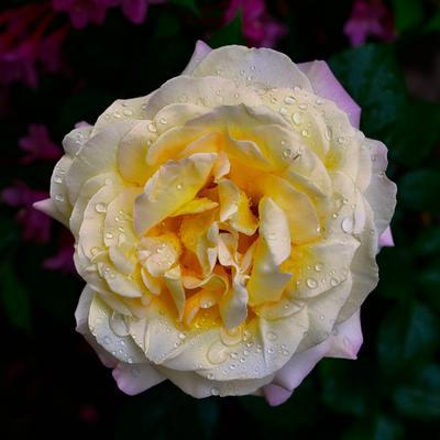 Роза Роза после дождя