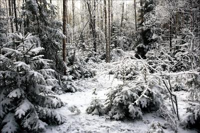 Этюд первого снега лес елки березы первый снег