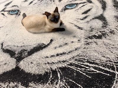 *** кошка кот тигр