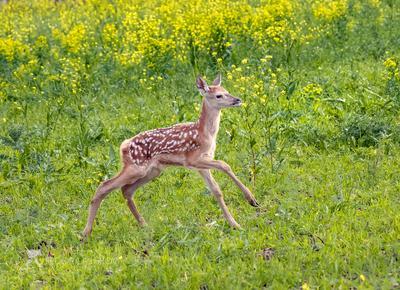 Оленёнок Ставропольский край Ставрополье животные животное детёныш олени благородный олень бэмби дикое