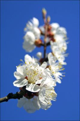Весна весна вишневый цвет