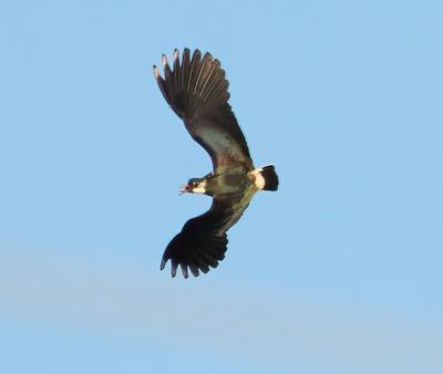 Полет чибиса чибисы птицы