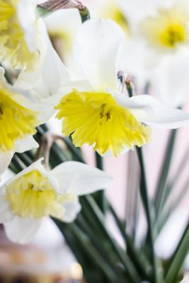 Нарциссы цветы нарциссы букет растения