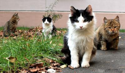 близницы коты, кошки, кошак.