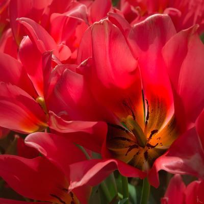 Фламенко тюльпан, красный, розовый, танец, фламенко