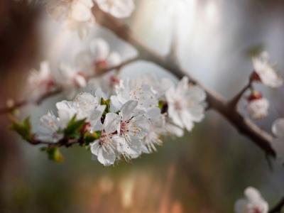 *** весна цветы дерево