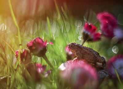 *** жаба цветы лето боке природа макро маргаритки