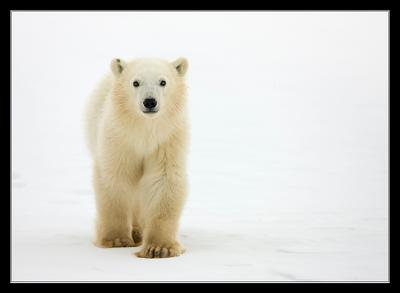 Малыш Белый медведь Канада Churchill